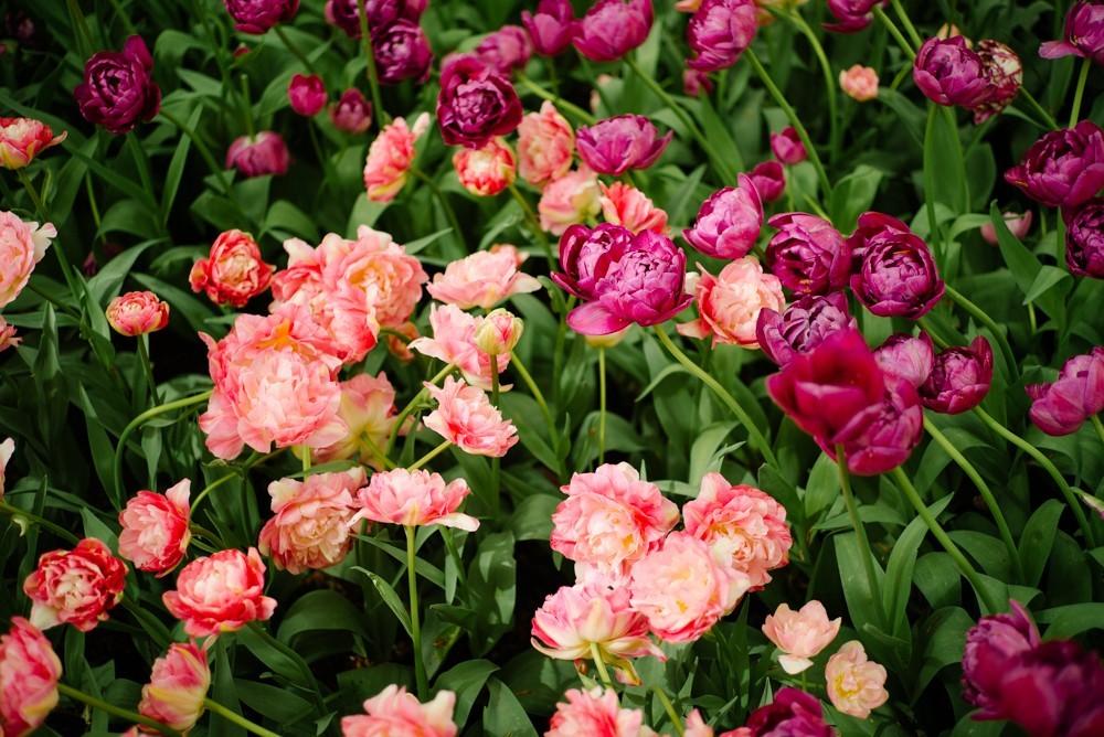keukenhof tulip gardens-10