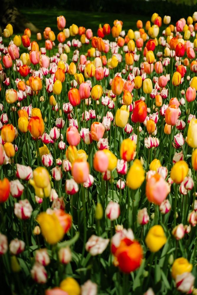 keukenhof tulip gardens-15