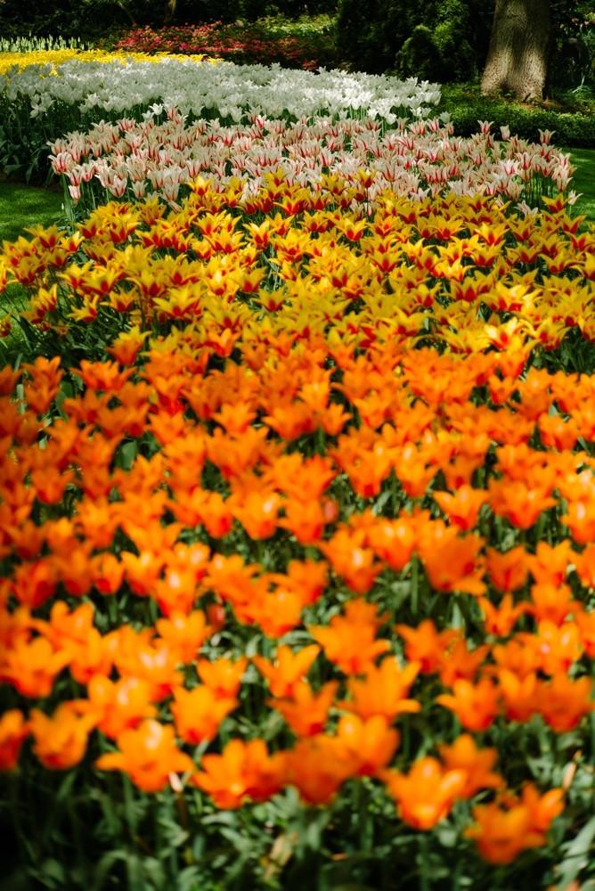 keukenhof tulip gardens-23