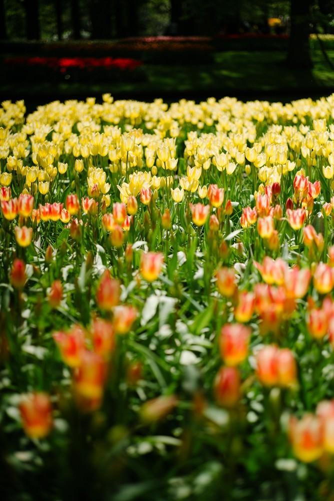 keukenhof tulip gardens-25