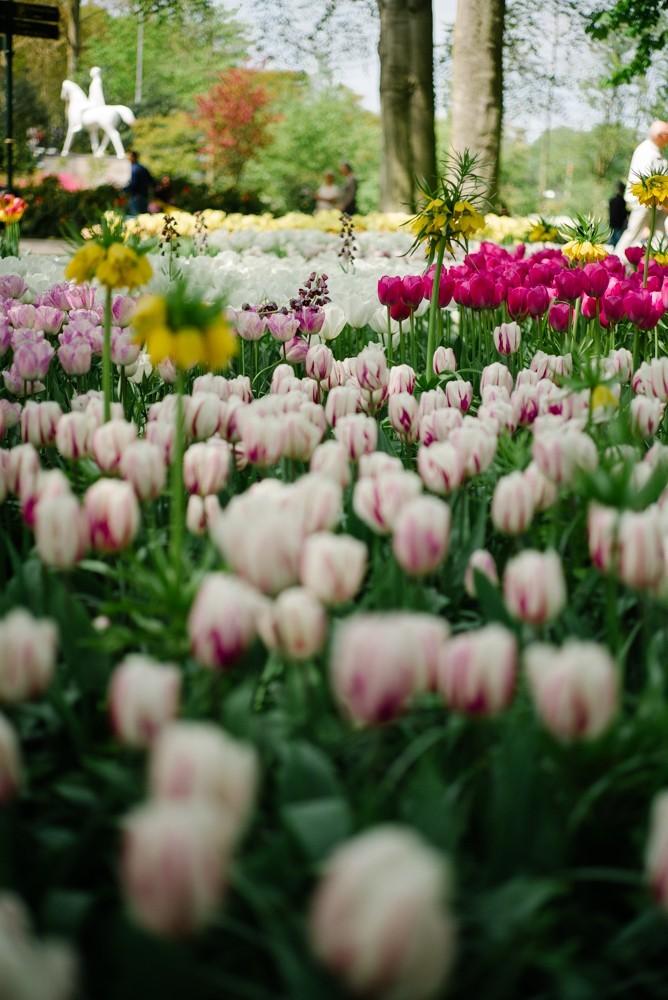 keukenhof tulip gardens-29