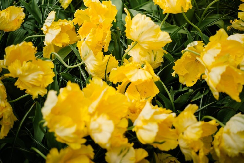 keukenhof tulip gardens-4
