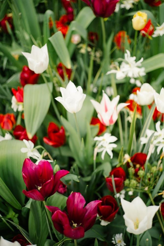 keukenhof tulip gardens-5