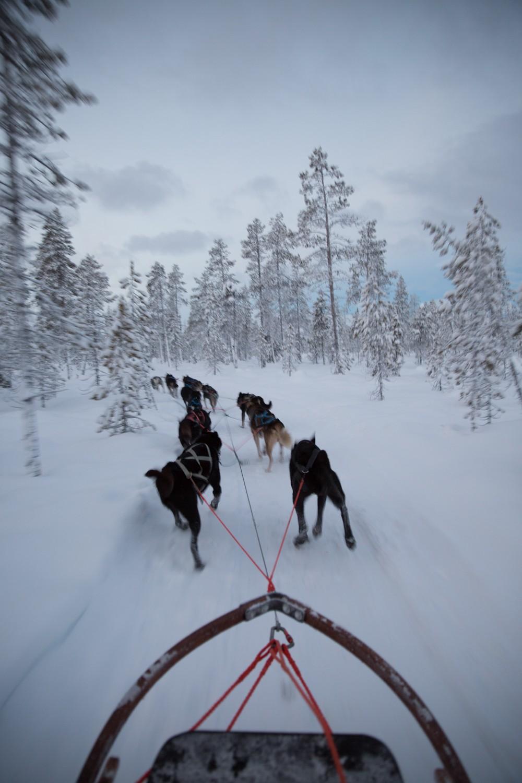 Husky Sledding Lapland-29