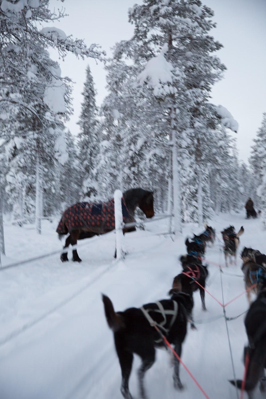 Husky Sledding Lapland-33