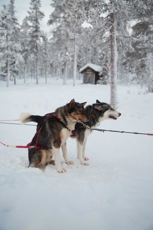 Husky Sledding Lapland-49