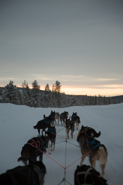 Husky Sledding Lapland-52