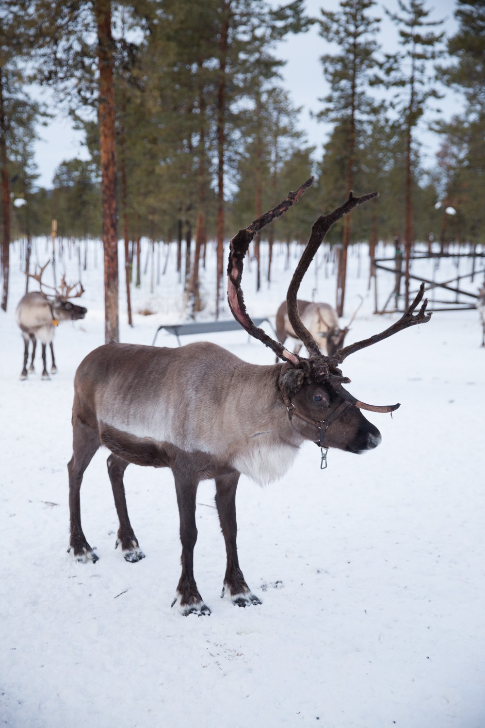 Reindeer and Saunas in Sweden -10