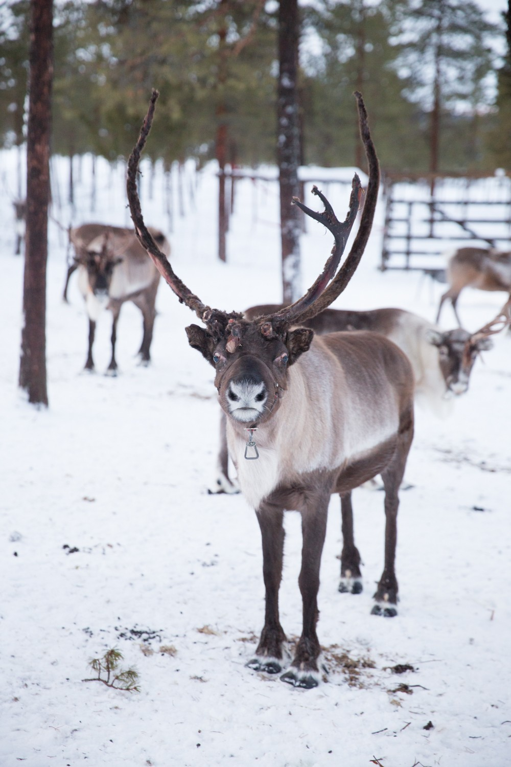 Reindeer and Saunas in Sweden -8