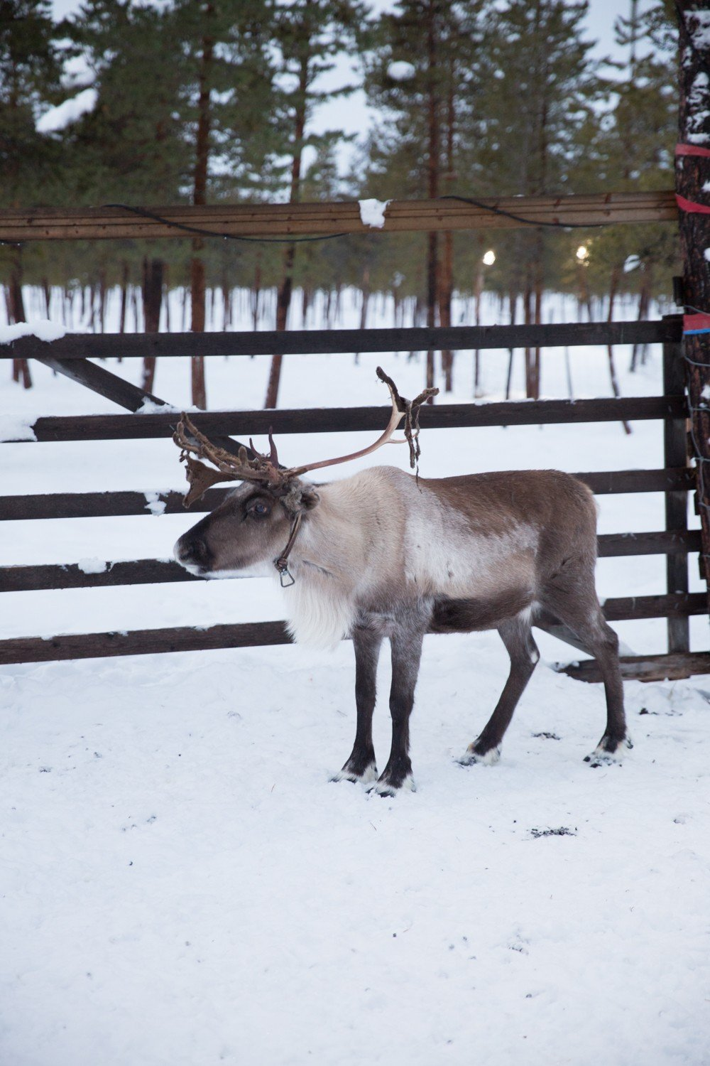 Reindeer and Saunas in Sweden -9