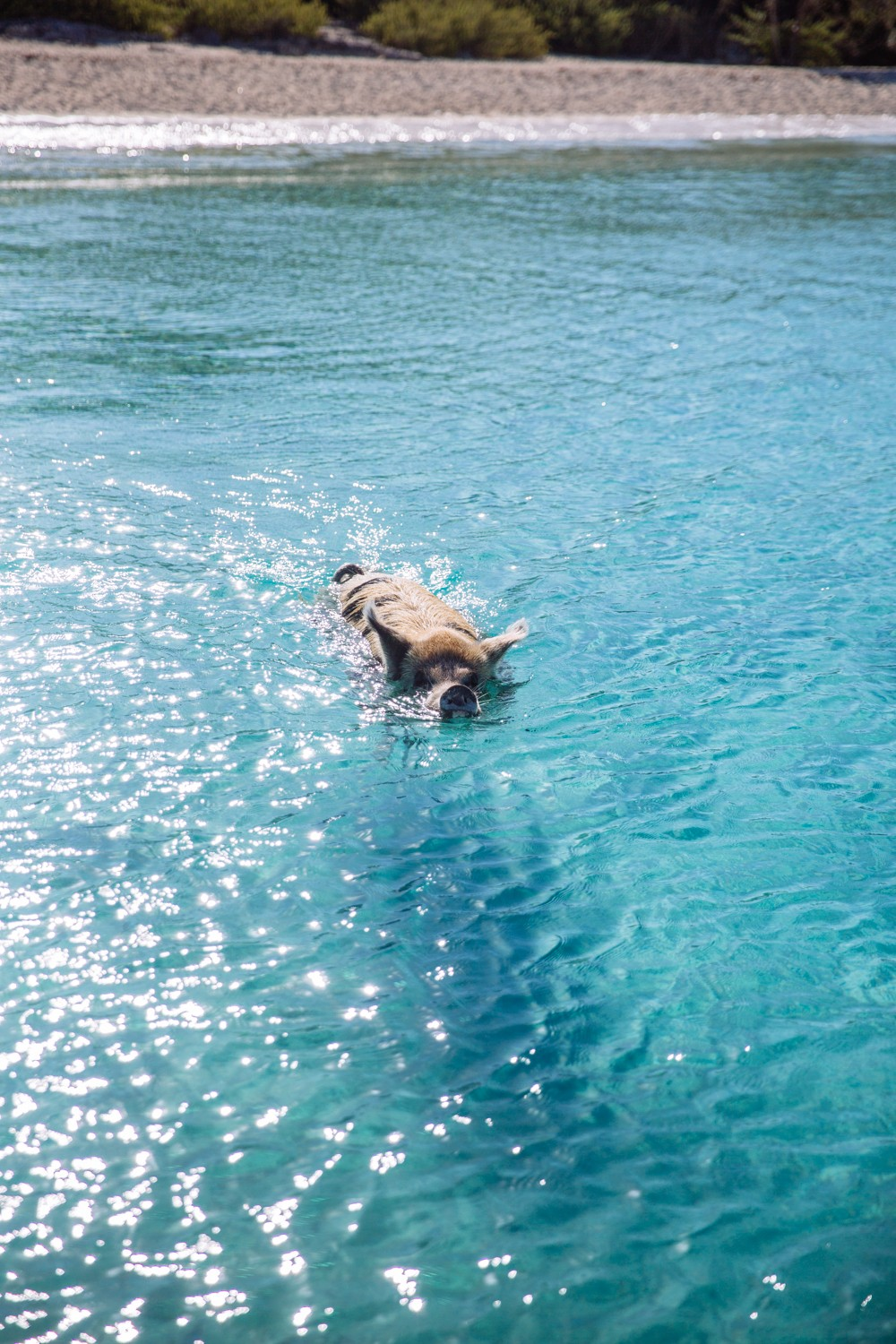Swimming Pigs - Bahamas-2