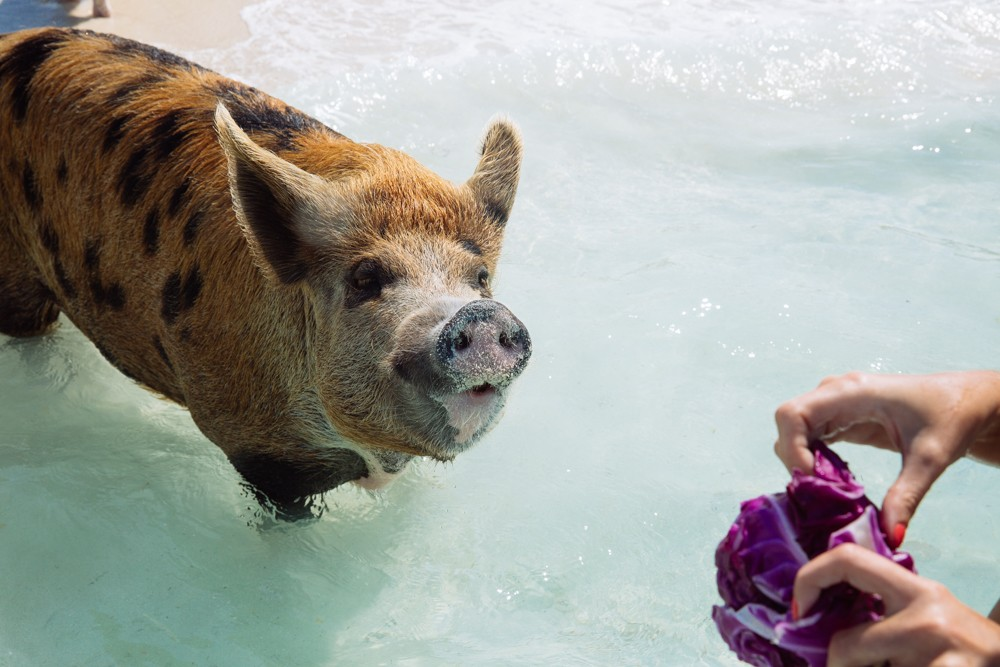 Swimming Pigs - Bahamas-26