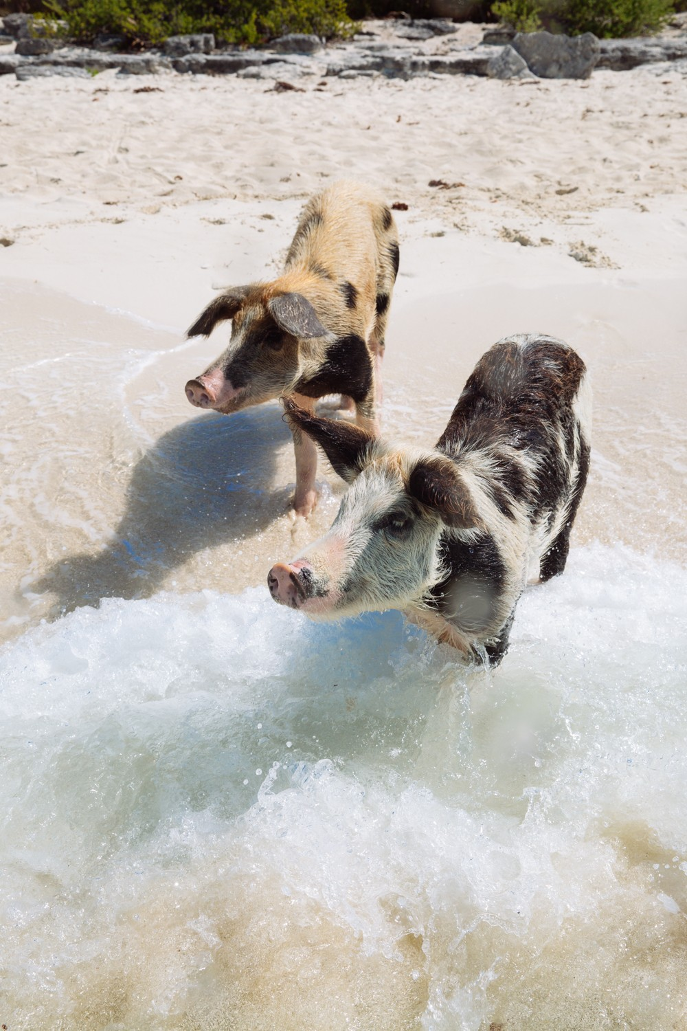 Swimming Pigs - Bahamas-27