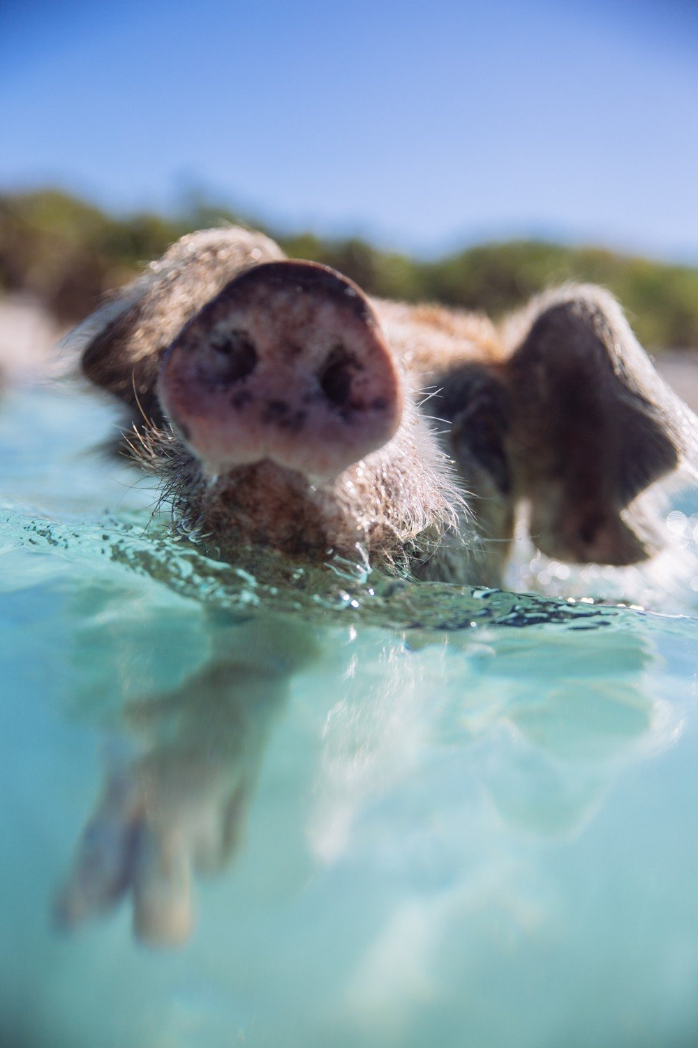 Swimming Pigs - Bahamas-6