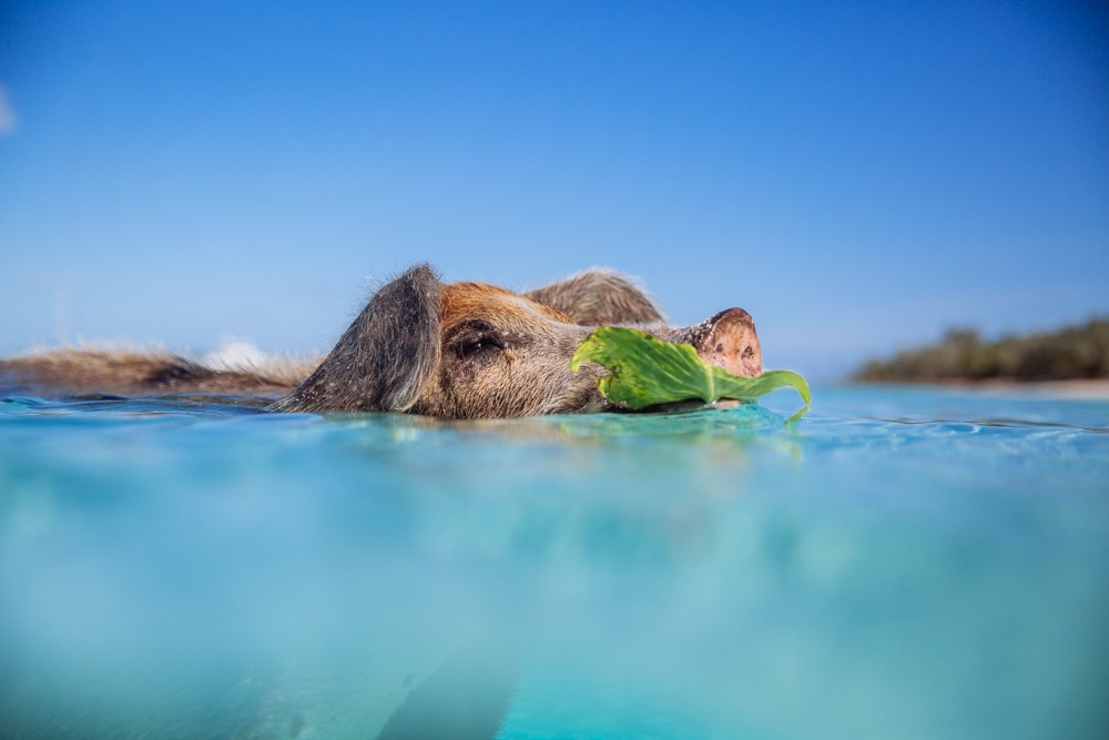 Swimming Pigs - Bahamas-7