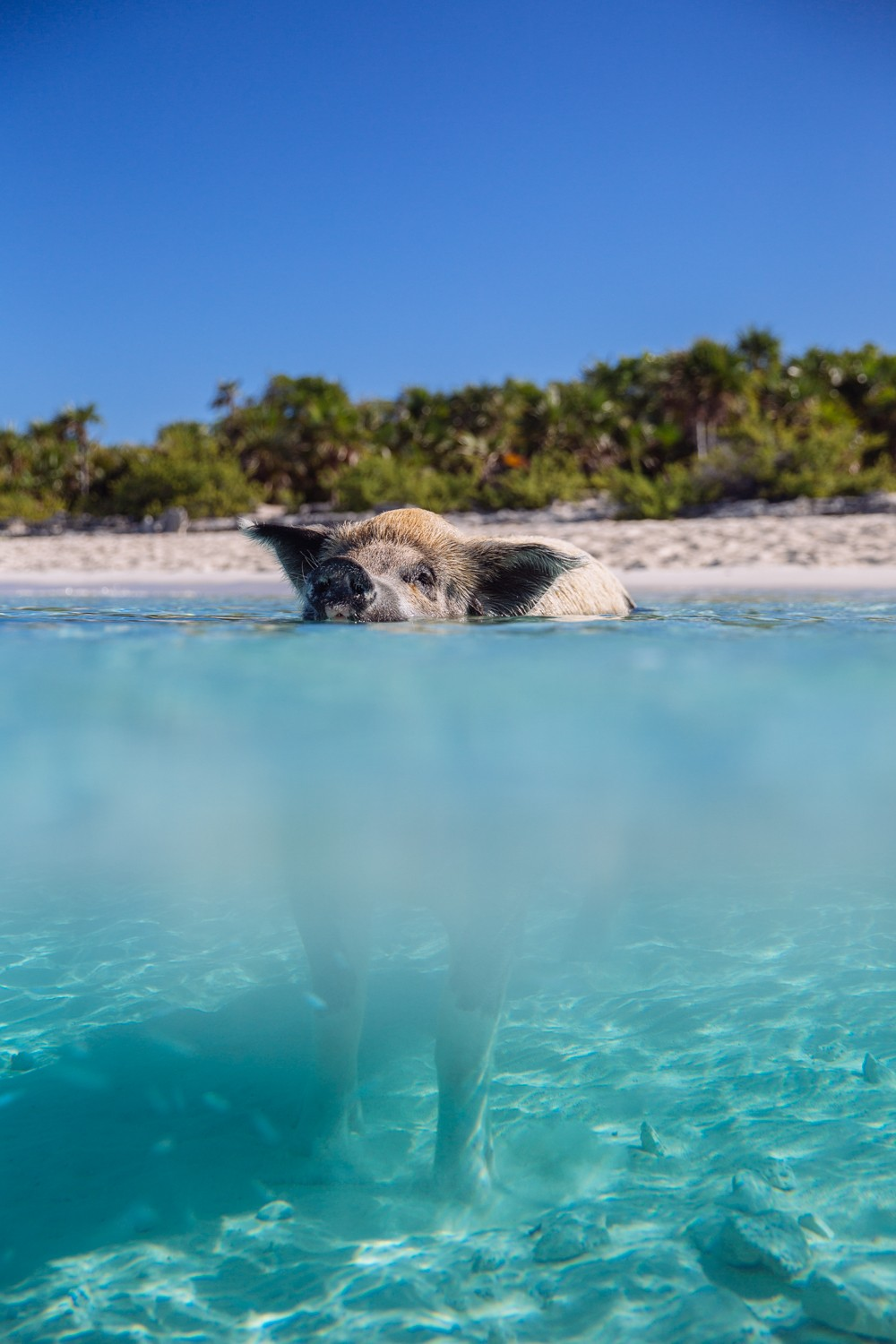 Swimming Pigs - Bahamas-8