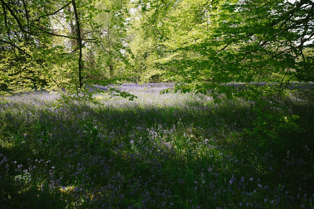 Londons Bluebell Woods -1