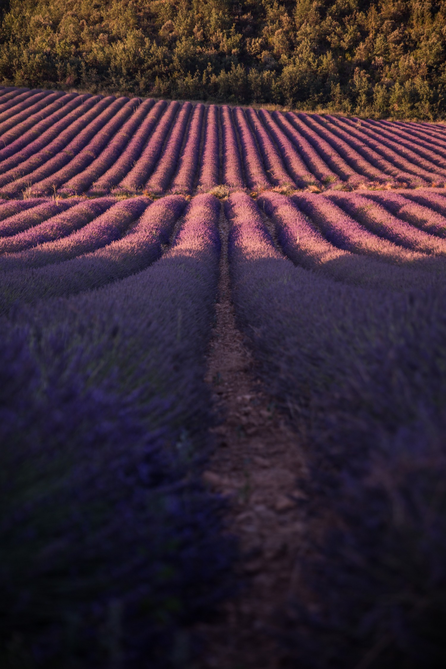Lavender in Provence-2