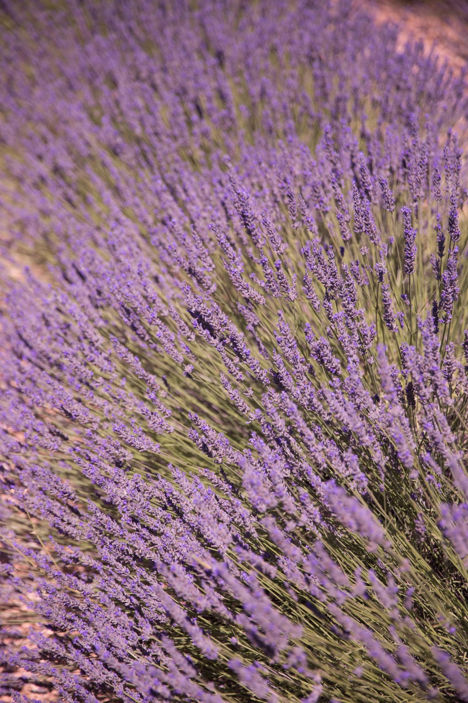 Lavender in Provence-27