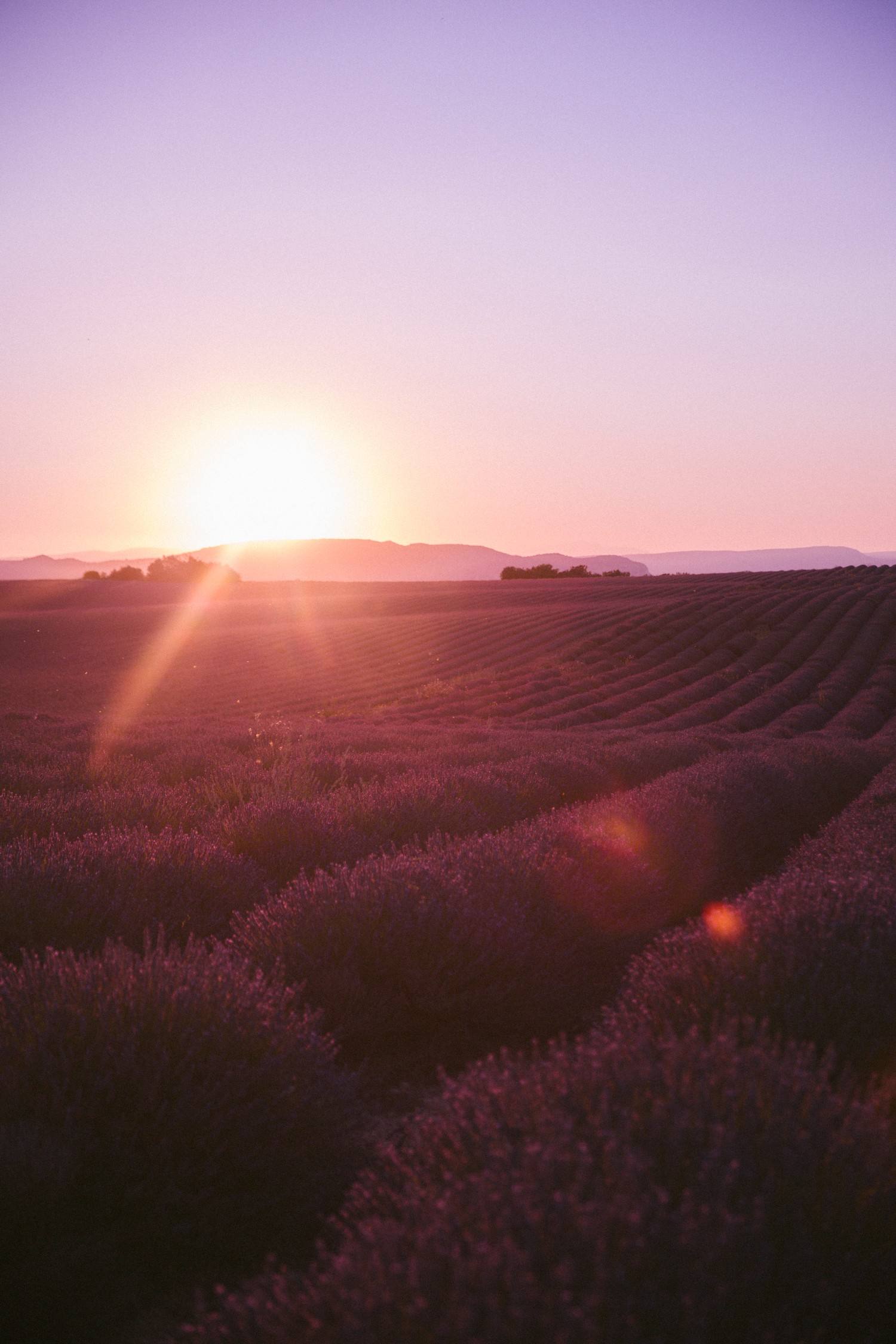 Sunset Lavender in Provence-15