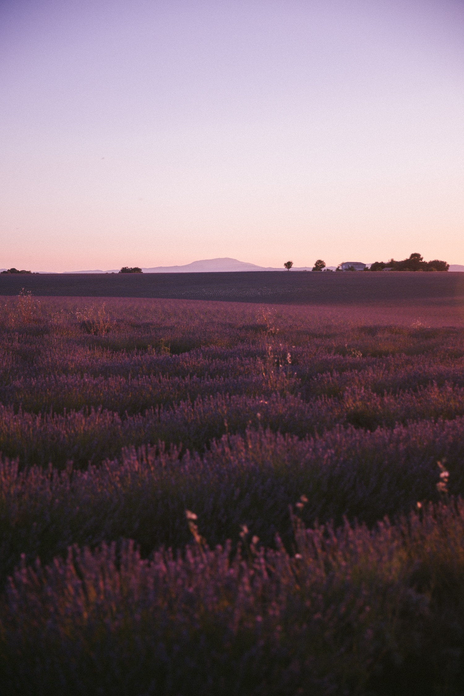 Sunset Lavender in Provence-21