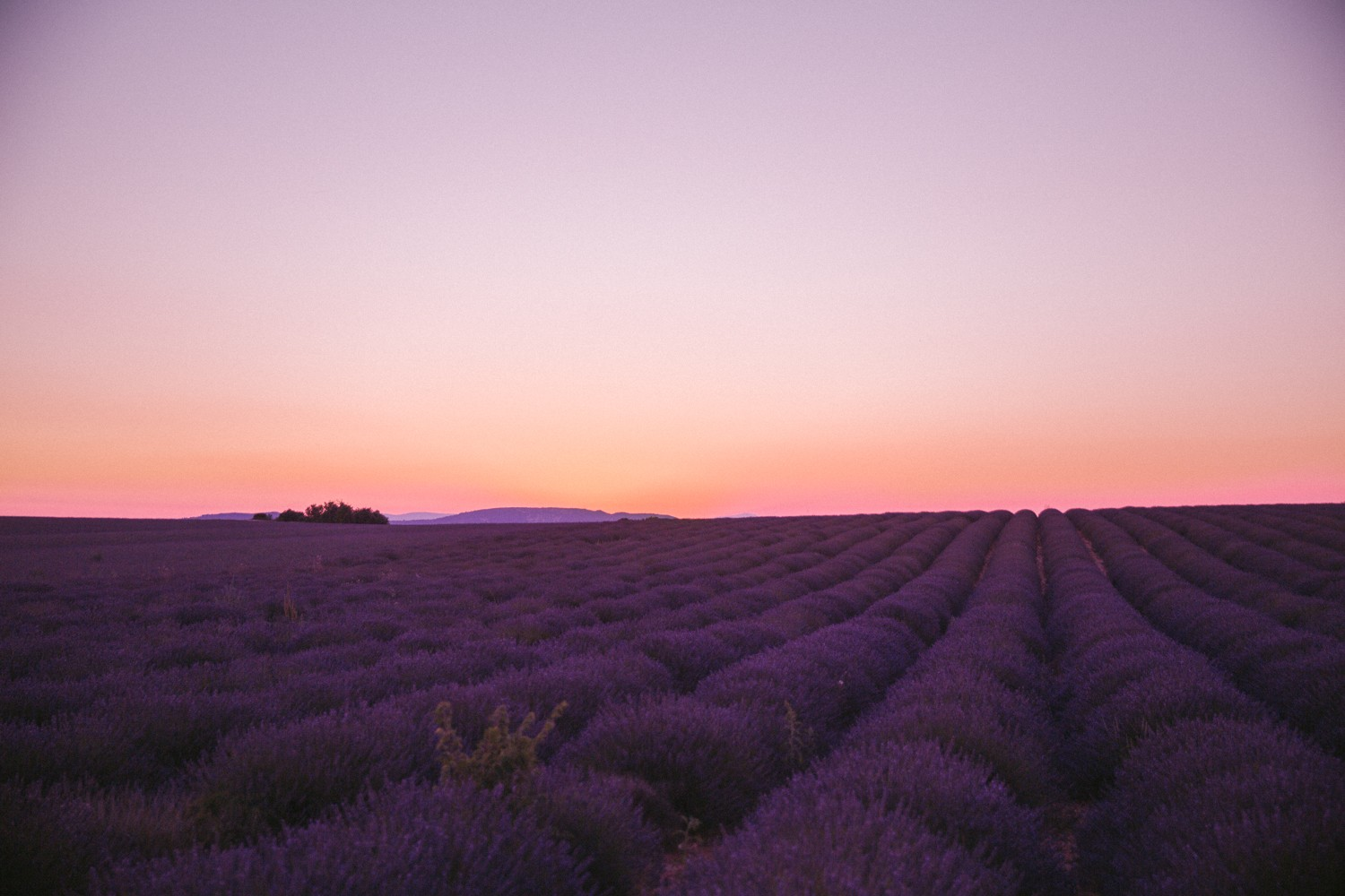Sunset Lavender in Provence-22