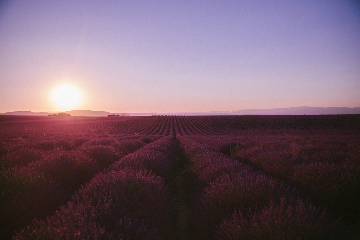 Sunset Lavender in Provence