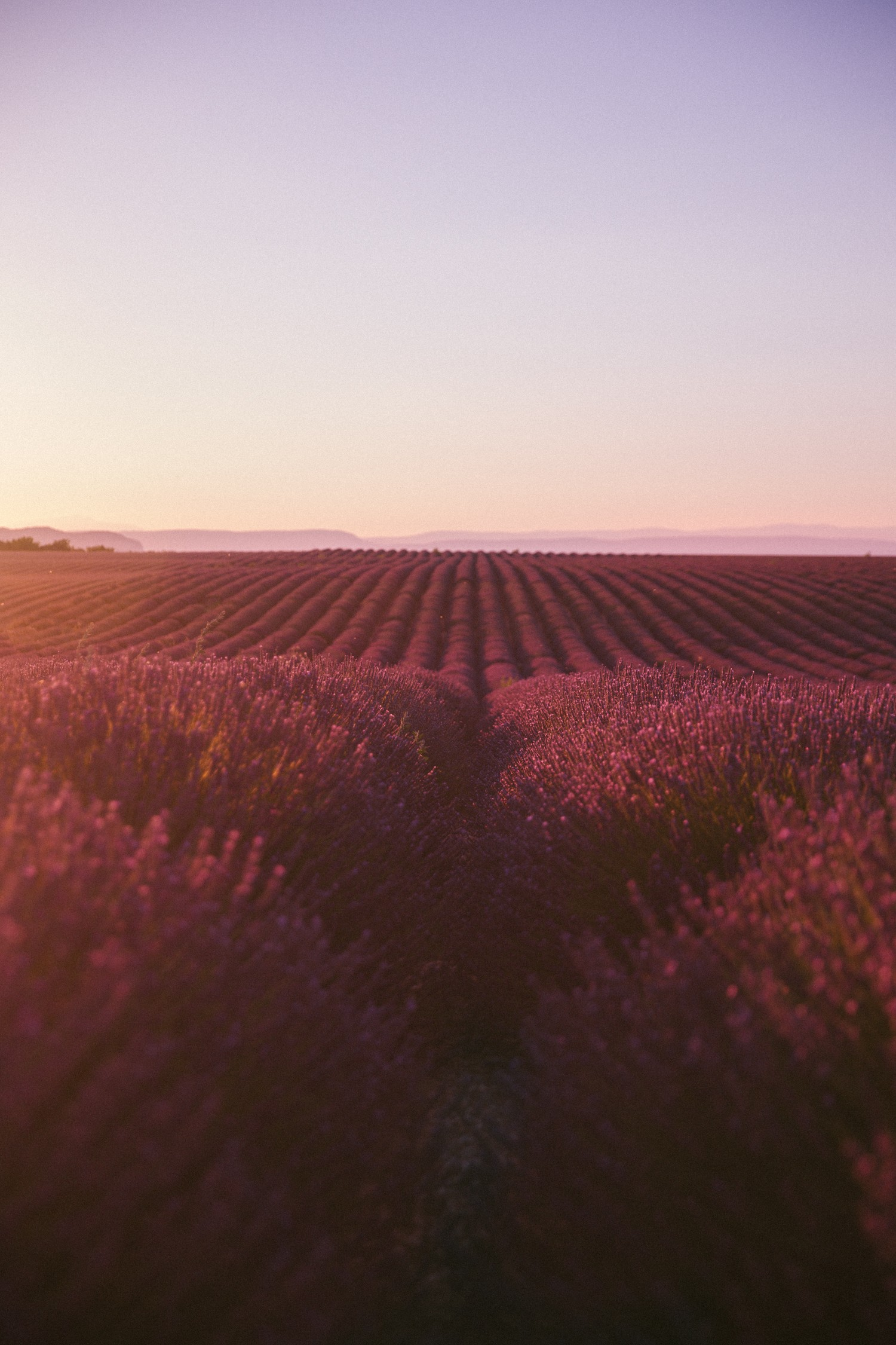 Sunset Lavender in Provence-4