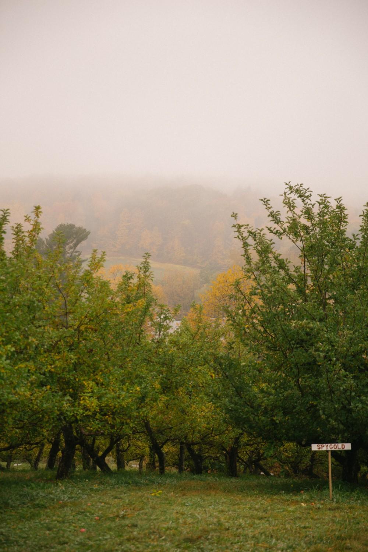 Misty orchard, Vermont