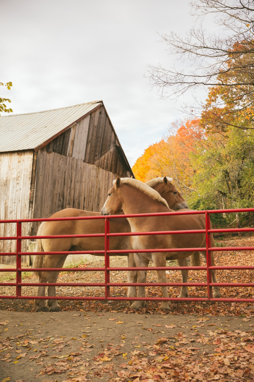 Horses in the autumn leave in Vermont