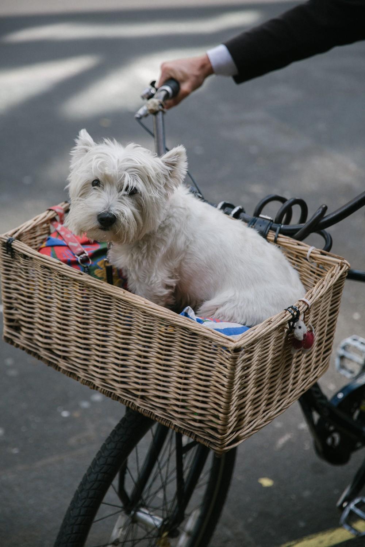Westie on a bike!