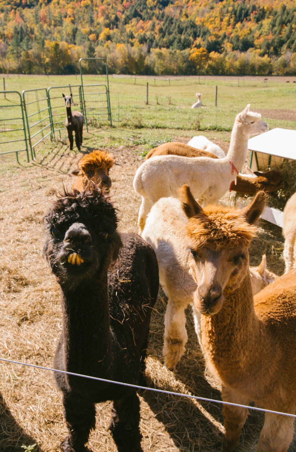 Alpacas in New England