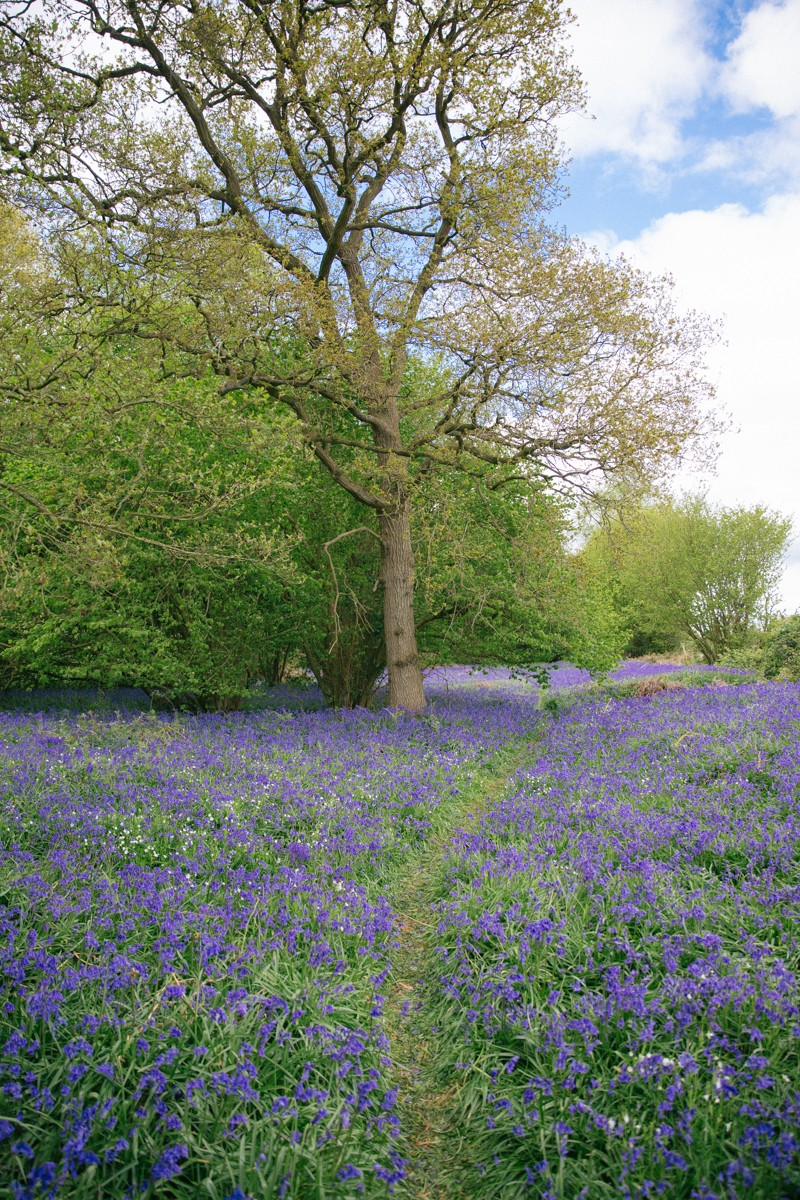 British bluebell wood
