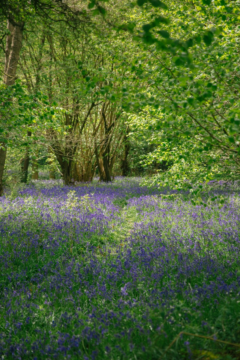 British bluebell woods - a must visit in spring!